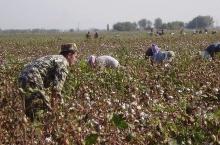 Узбакистон: Ҳама ба пахтачинӣ